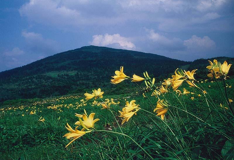 森吉山にはニッコウキスゲがよく似合う